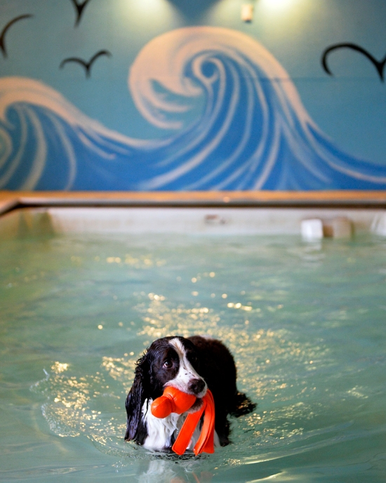 Charlie the English Springer Spaniel wades in a 2-foot-deep, heated pool at Morgan's Paws Pet Care Center in Spring Garden Township on Wednesday, Jan. 8, 2014. Dogs enrolled in Morgan's Paws Pet Care Center in Spring Garden Township have access to two heated pools for an hour-long session, while dogs not enrolled can participate in private or open swim sessions. Chris Dunn — Daily Record/Sunday News